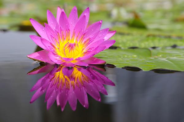 Violet Lotus Flower Magnificent Me Magnificent You